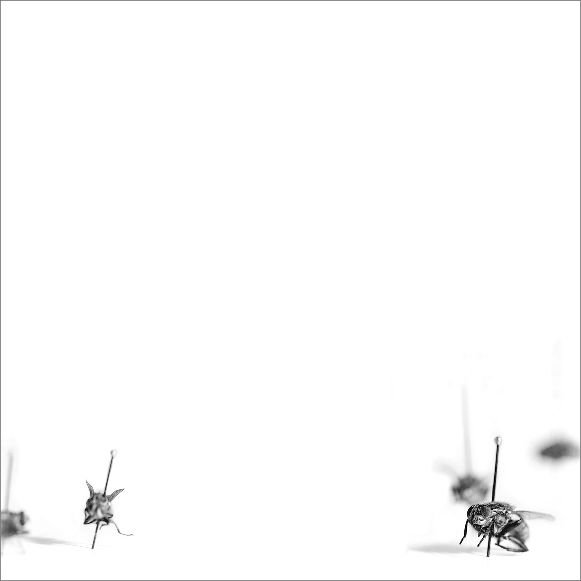Houseflies 4